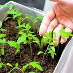 Методы эффективной терапии аллергии на рассаду томатов