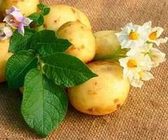 Аллергия на картофель: проявления, схема доступного лечения