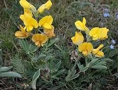Термопсиса трава: лечение бронхита, трахеита, аннотация