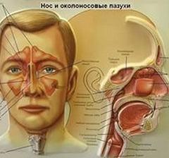 Гайморова пазуха: причинные факторы болезней, строение